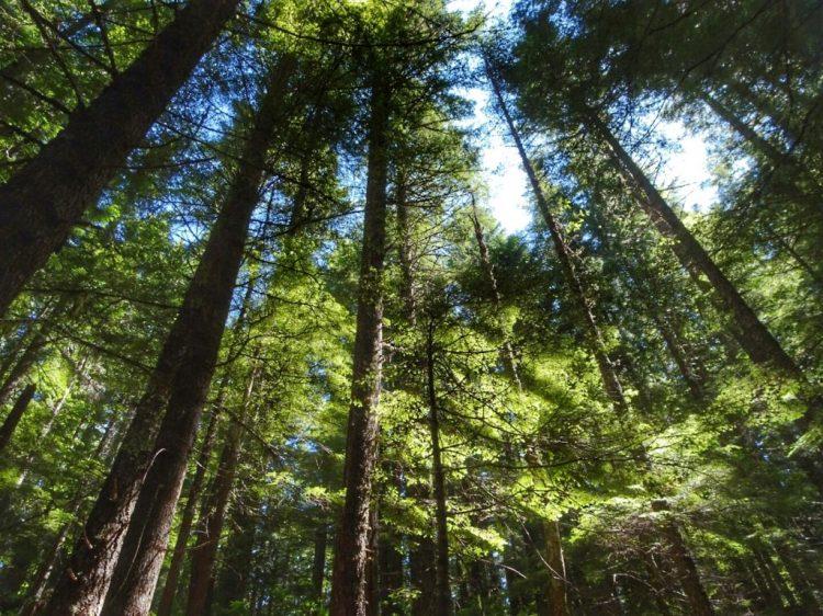 Hiking through fir forest