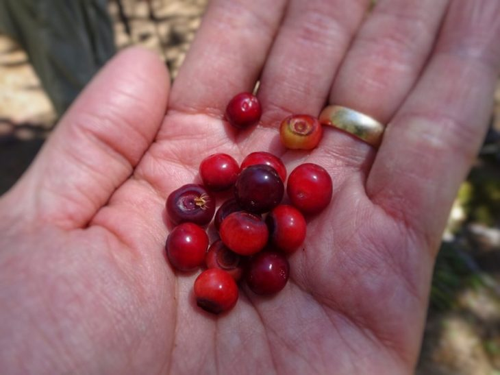These red huckleberries were a treat!