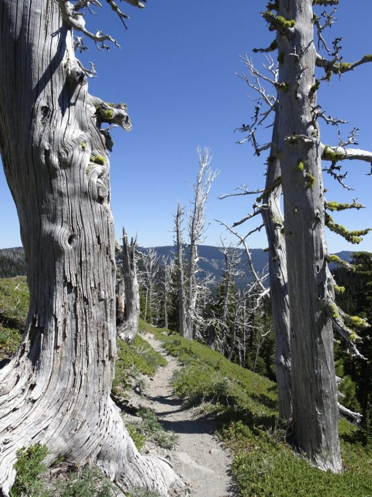 These dead trees near the junction of Newton Creek Trail and Timberline Trail were beautiful.