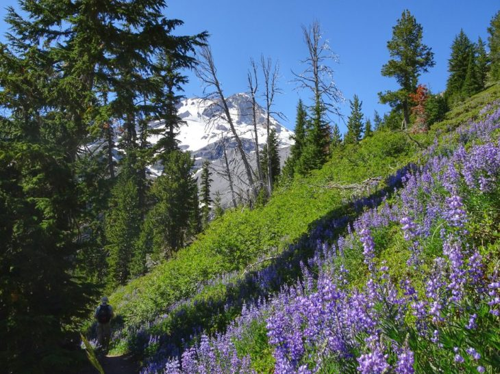 Colorful lupines with Mt Hood around the corner