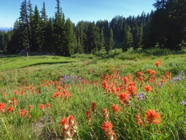 More Indian paintbrush than I've seen