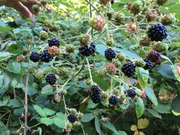 Another feast on blackberries on the trail