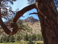 Crooked limb of Ponderosa pine in Smith Rock State Park