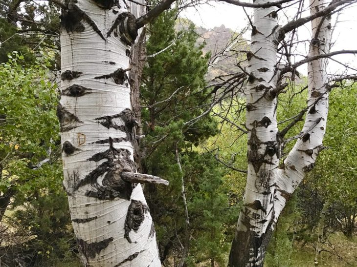 Beautiful bark of aspens