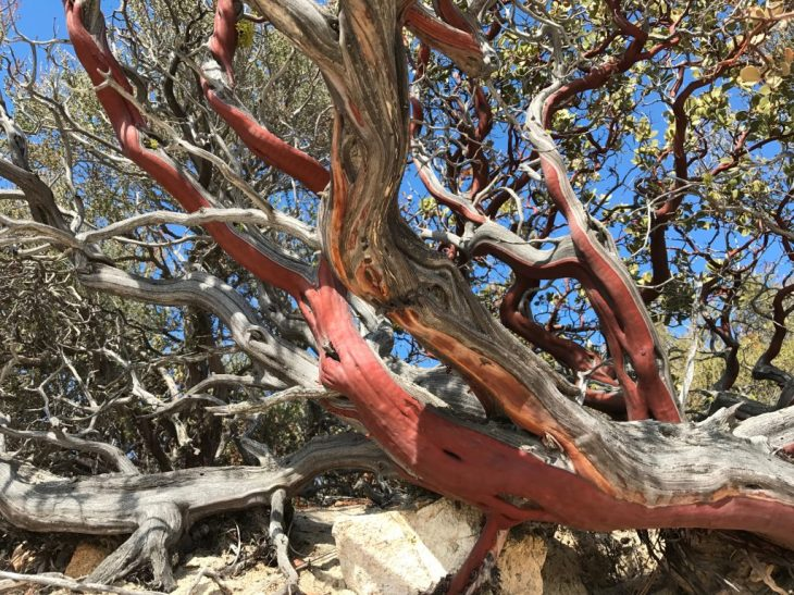 Colorful Manzanita along the trail