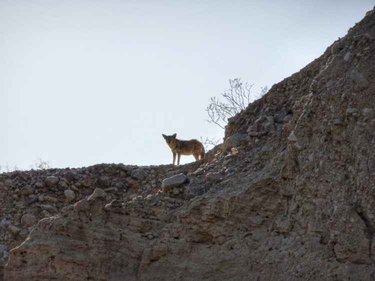During lunch at the oasis, we spotted this coyote watching us. Probably waiting for us to leave so that she or he could get a drink.
