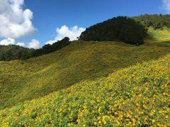 Wild sunflowers at Doi Mae U-Kho