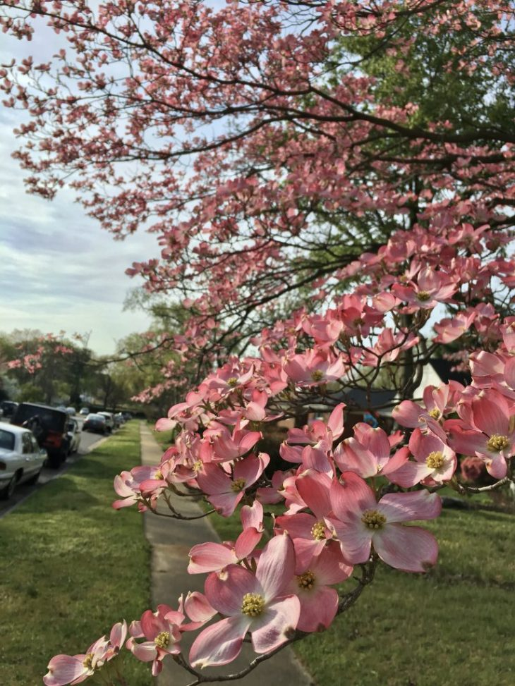 Dogwood trees blooming in Richmond