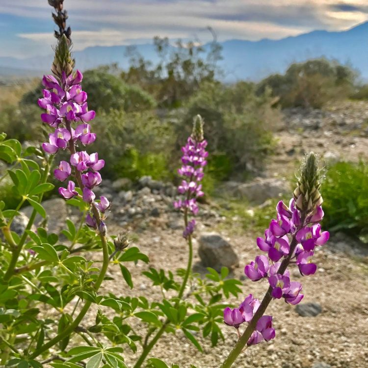 Spotted this desert lupine (Lupinus sparsiflorus) from our walk in the desert two days ago.