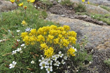 This might be Golden Draba (Draba aurea).