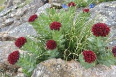 King's crown (Tolmachevia integrifolia) on Mt Ida Trail