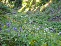 Cow parsnip mixing in with lupine and Indian paintbrush