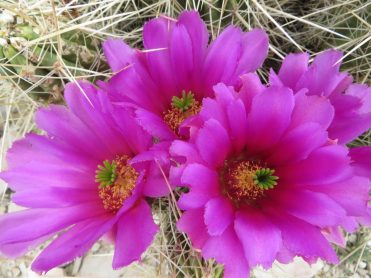 Strawberry pitaya cactus