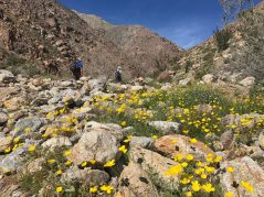 Lots of yellow poppies in Borrego Palm Canyon