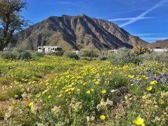Beautiful explosion of desert dandelions