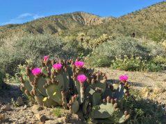 Beavertail cacti