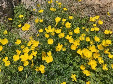 Parish's poppies