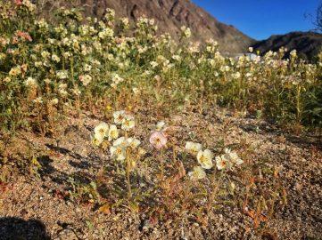 Brown-eyed primrose