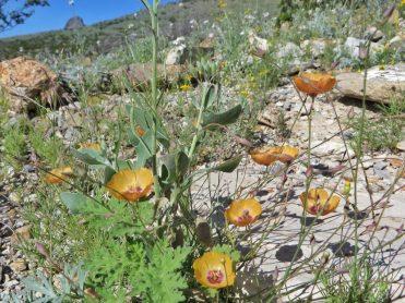 Plains flax (Linum puberulum)