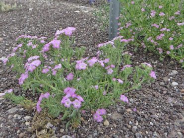 Sand bells (Nama hispidum)