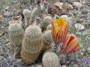 Texas rainbow cactus or spiny hedgehog cactus (Echinocereus dasyacanthus)