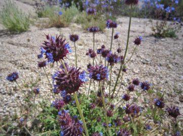 Chia (Salvia columbariae)