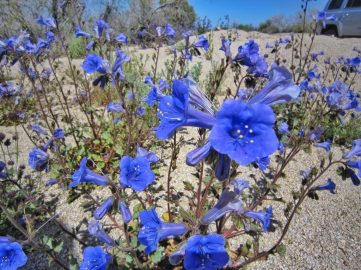 Desert Canterbury bells or desert bluebells (Phacelia campanularia)