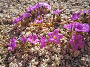 Purple mat (Nama demissum)