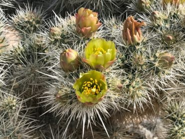 I think these were the first Cholla cacti we saw blooming.