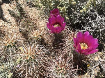 Hedgehog cacti in bloom