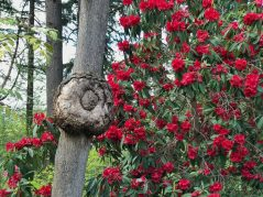 Burl and red rhododendron