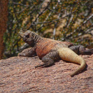 A colorful Chuckwalla lizard