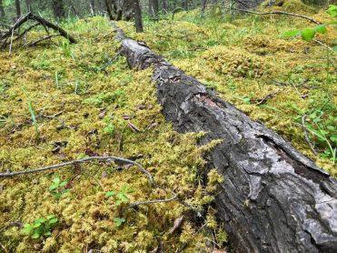Moss taken over a fallen tree