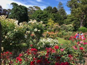 Rose garden at the Botanical Gardens